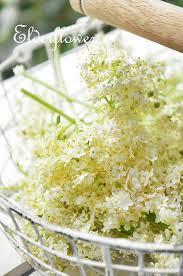 エルダーフラワーの花